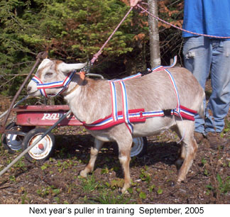 Training the goat to wear the harness is usually a very easy section.