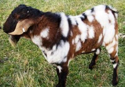 Working Goats - More Moonspots