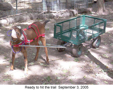 otisready_2005 09 03 working goats harness training goat harness at crackthecode.co